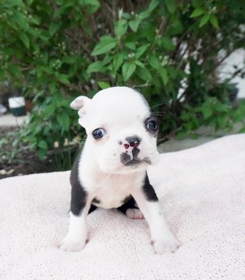 Bugsey - Boston Terrier - AKC - Boy