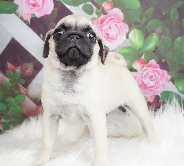 Frankie - AKC - Pug - Boy