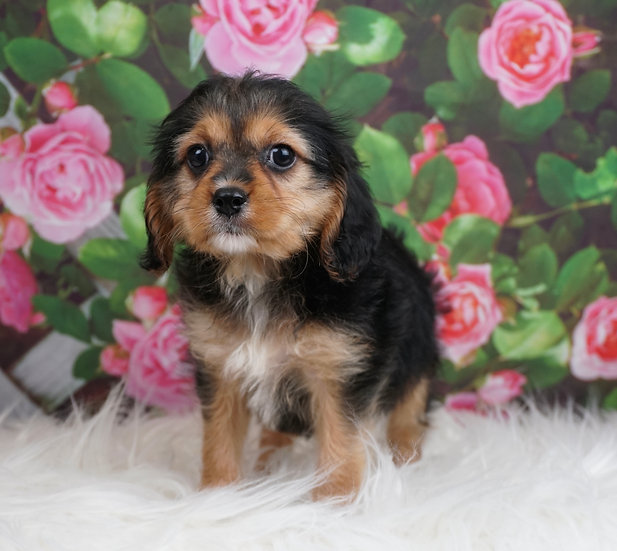 Candy - Toy Cavapoo - Girl