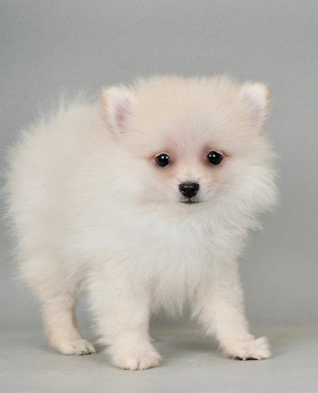 Chino - Pomeranian - AKC Boy