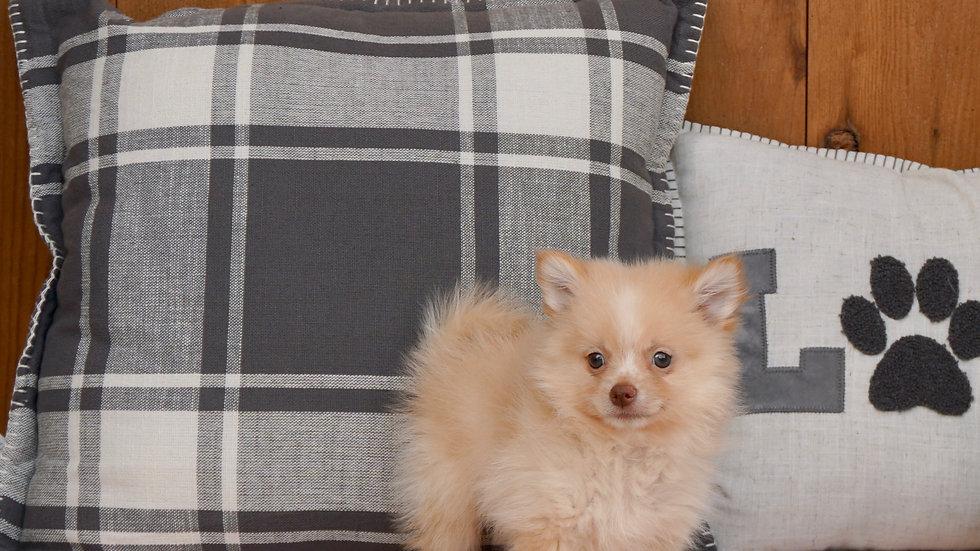 Cuddles - Pomeranian