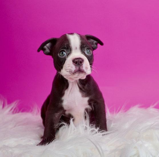 Ginger - Boston Terrier - AKC - Girl