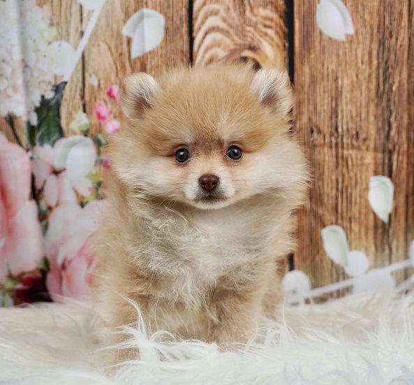 Apollo - AKC - Pomeranian - Boy