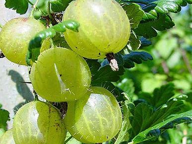 gooseberry-invicta.jpg