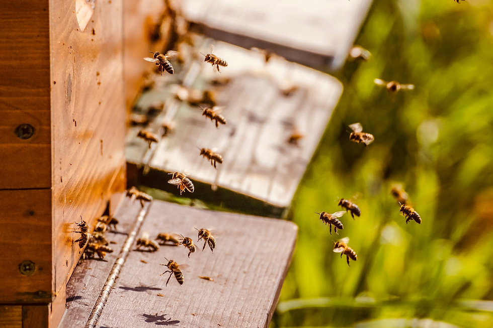 Honeybees flying around the entrance to a beehive.