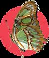 Siproeta butterfly