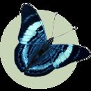 Butterfly Panacea prosilla