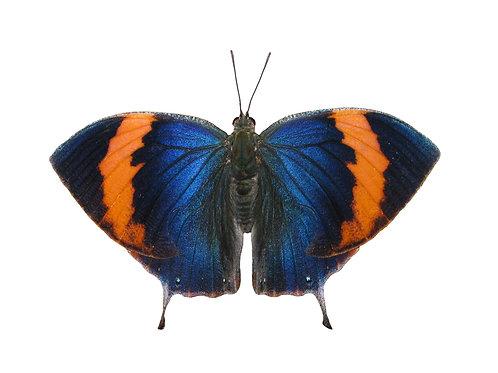 Memphis philumena indigotica
