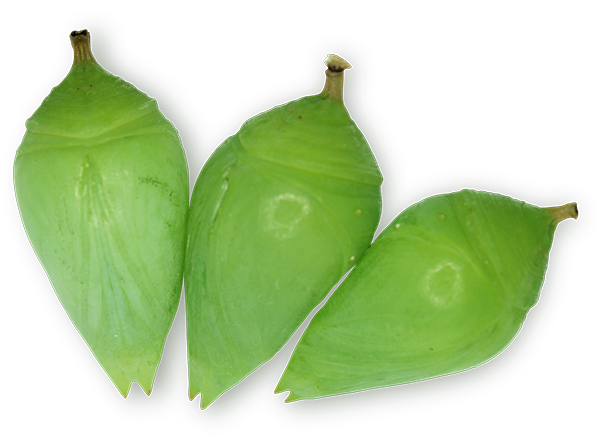 three Morpho butterfly pupae