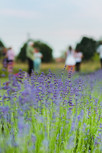 LavenderBlu(23).jpg