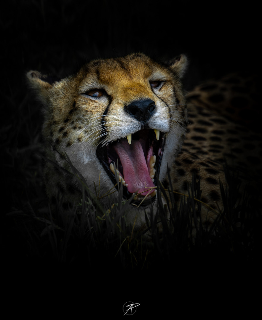 Insta_14Apr_cheetah.jpg