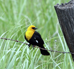 Yellow Headed Blackbird, Pine Crk