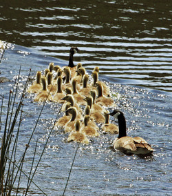 Canada Goose family, Pine Crk