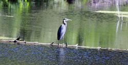 Blue Heron, Beaver Crk