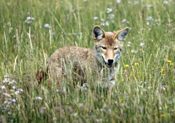 Wiley Coyote