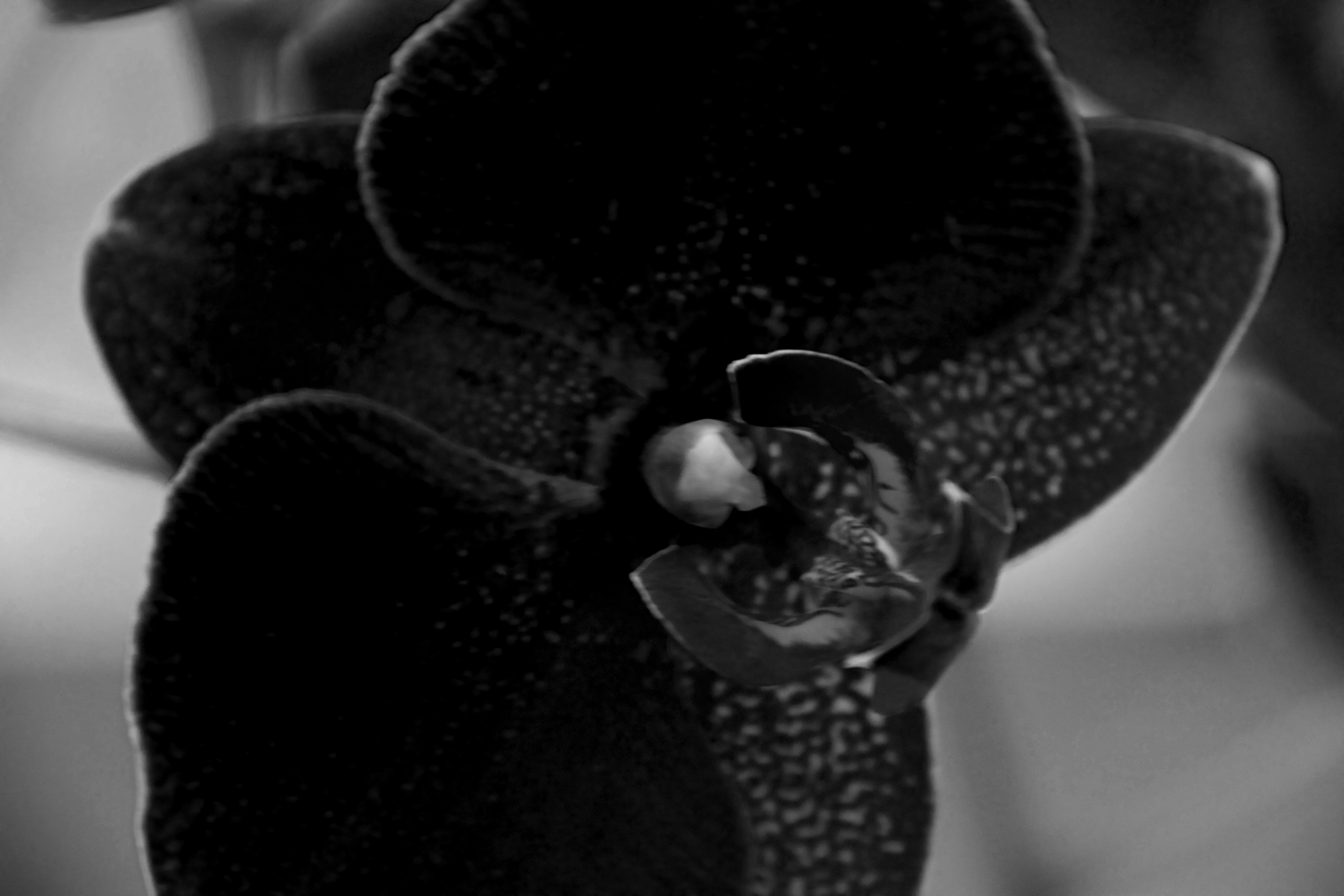 Close up of black orchid