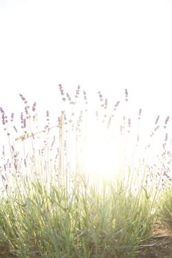 field of organic lavender in the sun