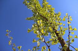 upward shot of organic gingko tree