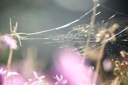 Rainbow spider web on lilac flowers