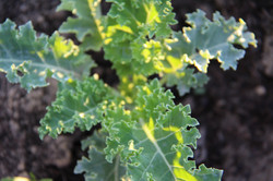 sunlight on organic green kale