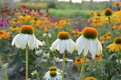 three white organic echinacea flower
