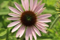 one pink organic echinacea flower