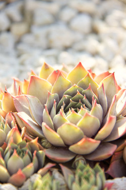 close up of stonecrop succulent