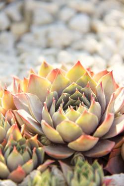 close up of stonecrop succulent