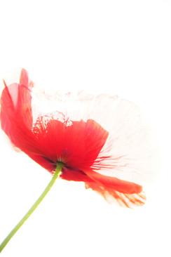 Red Poppy Edge