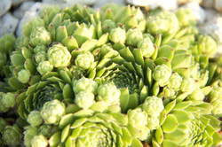 close up of green stonecrop in sun