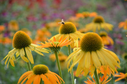 field of organic echinacea