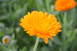 one organic marigold orange