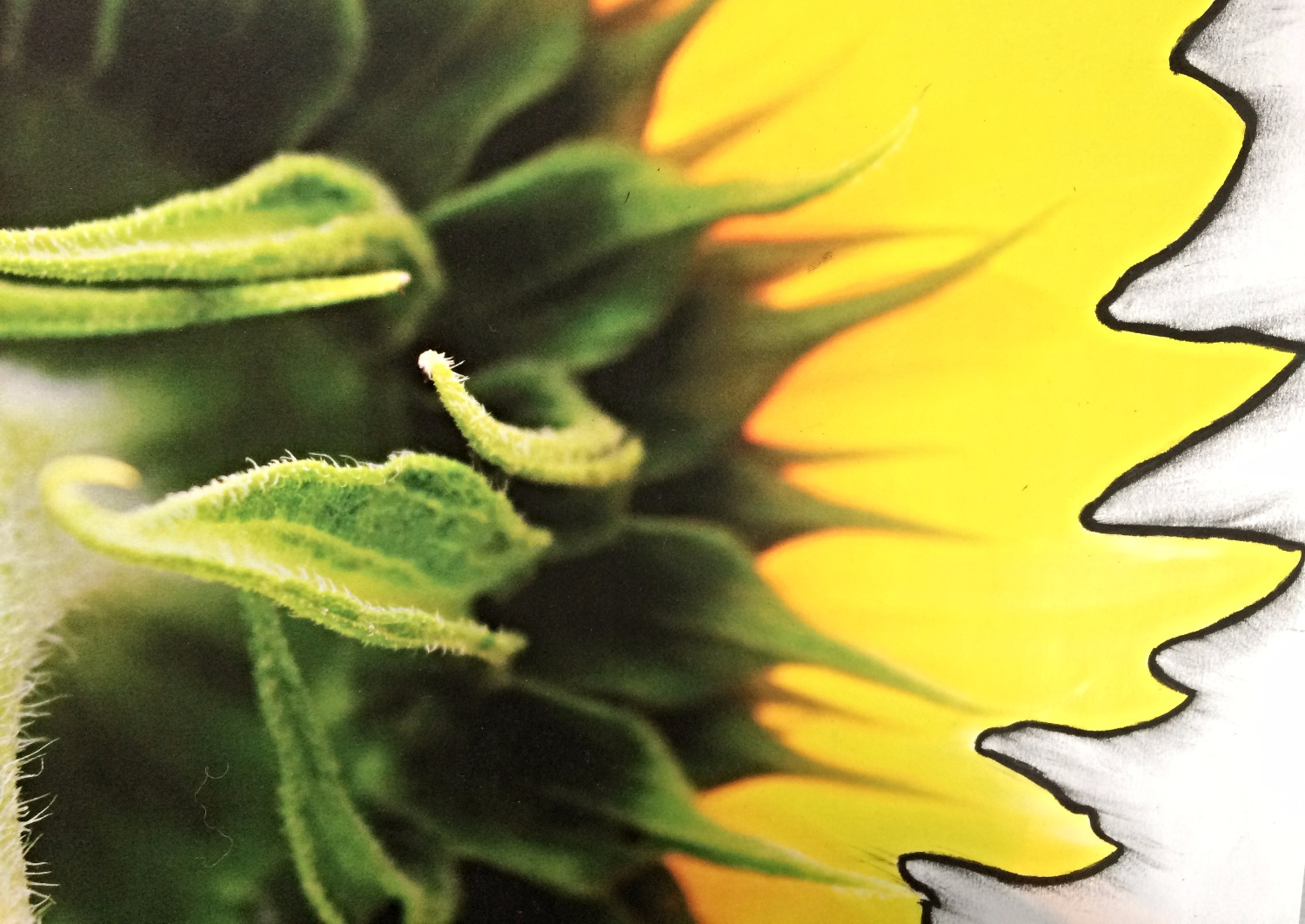 sunflower outlined in charcoal