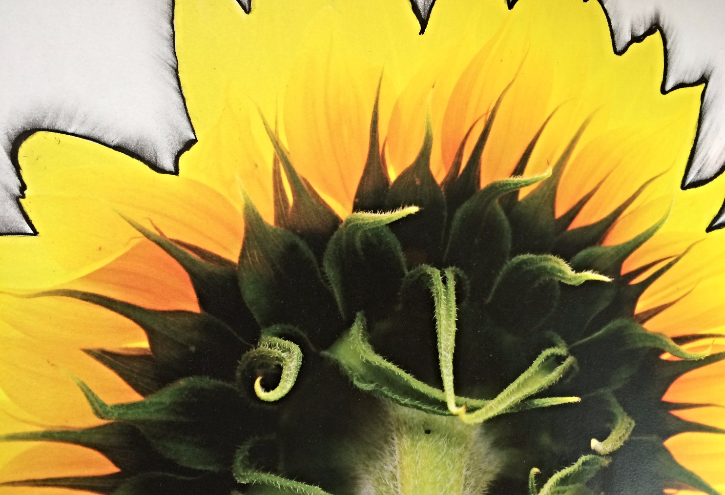 back of sunflower outlined in charco