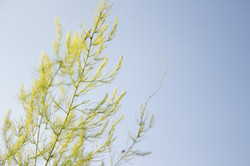 green fennel stalk on blue backgroun