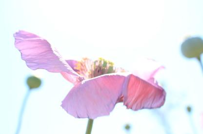 Purple Poppy 4