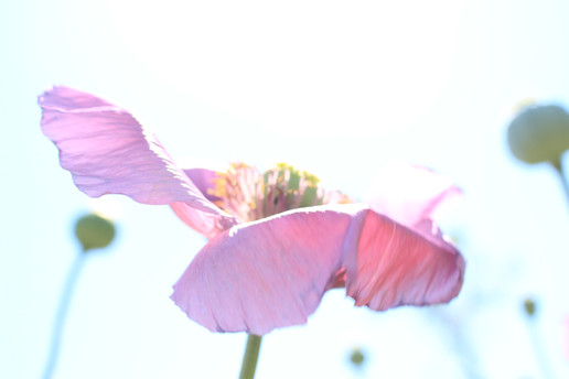 Purple Poppy 4