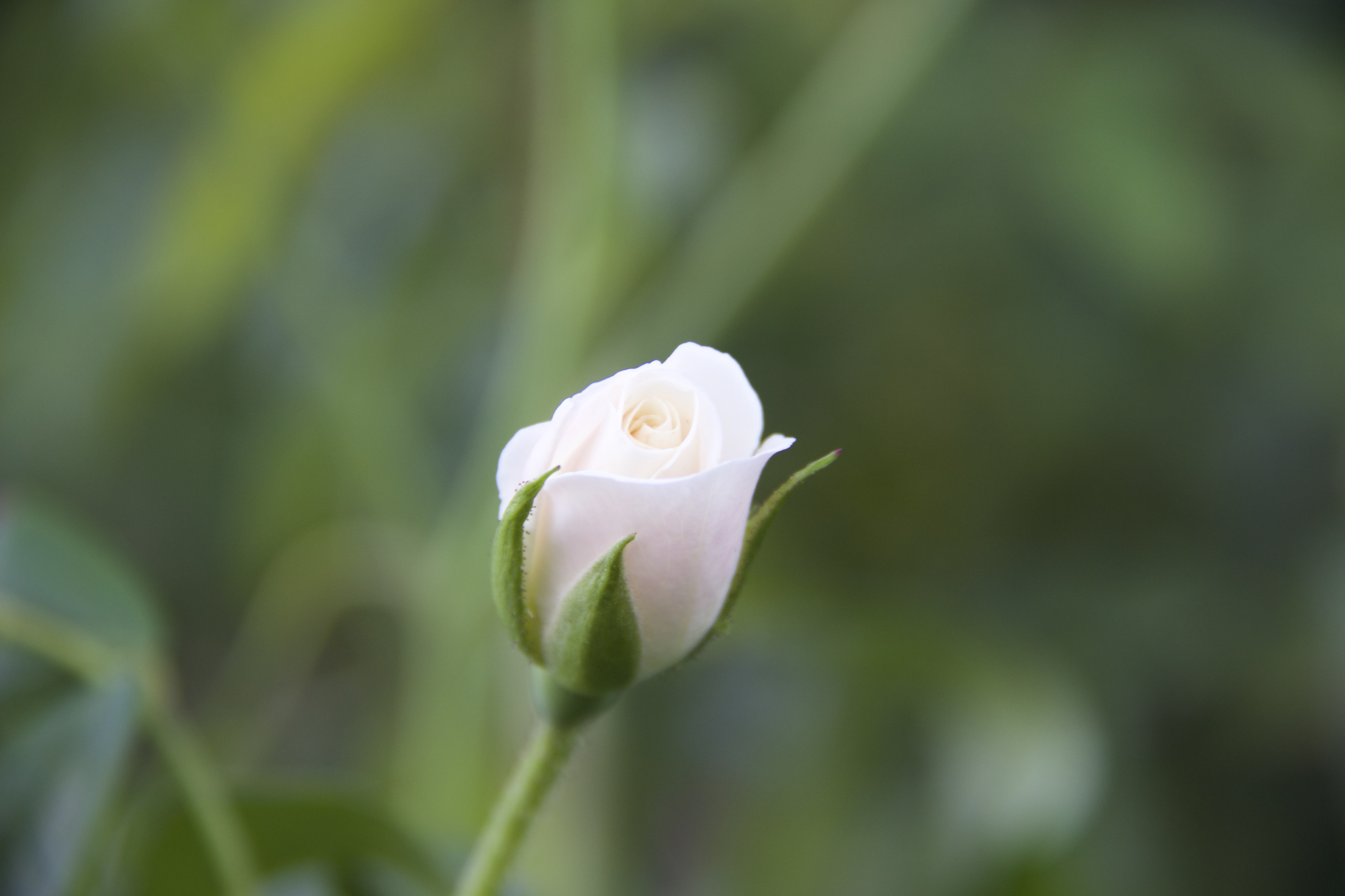 White rose bud bokeh background