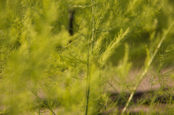 Close up green fennel leaves