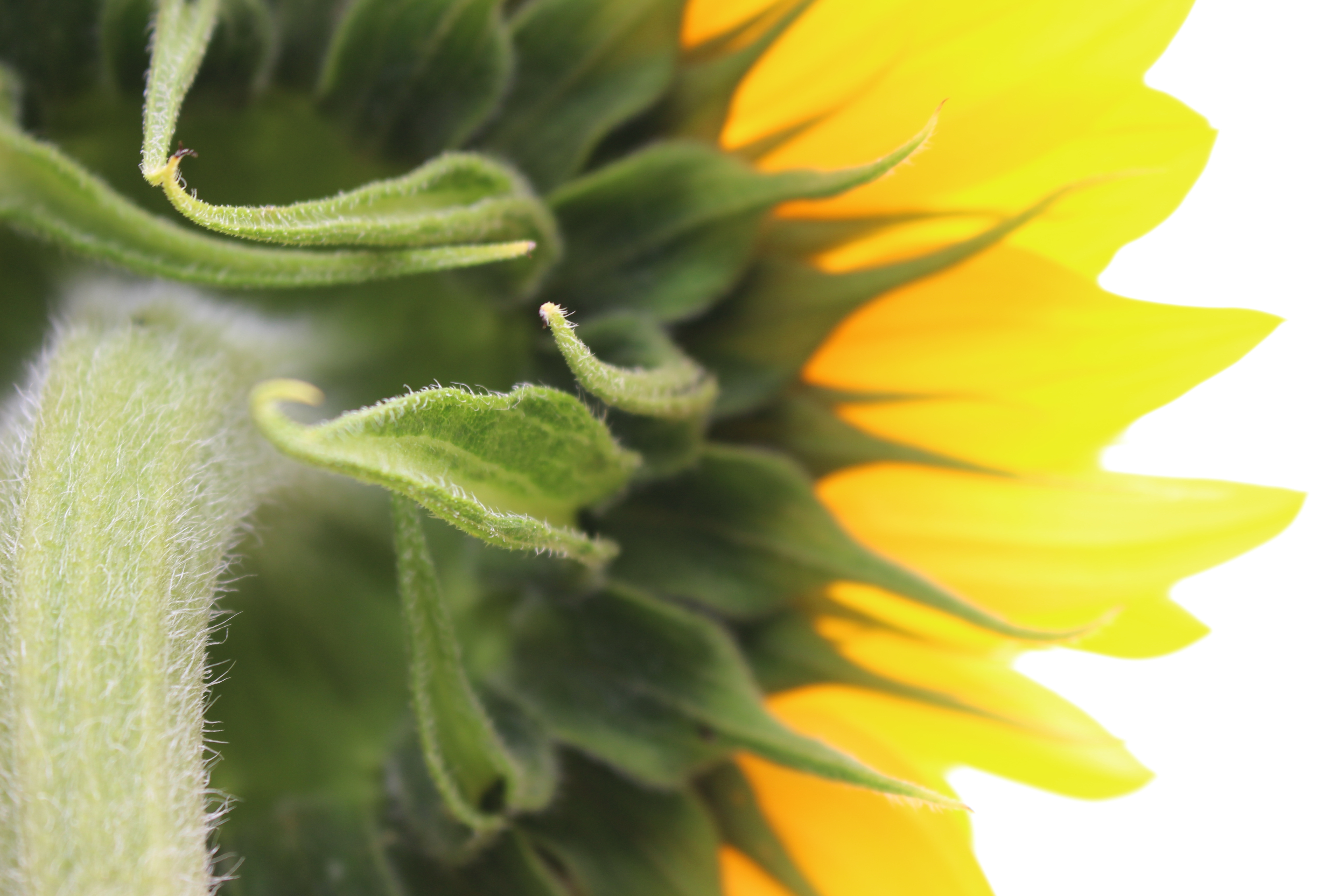 Close up of back of sunflower