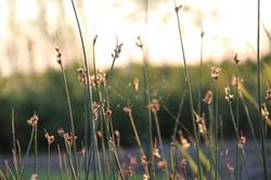 spider web on pond reeds at sunset