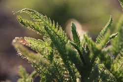 close up of yarrow leaves