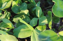 close up of organic sweet clover