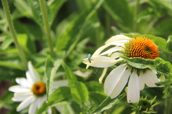 white echinacea flower blue beetle