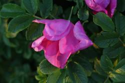 organic pink sweet rose