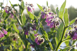 close up of organic comfrey