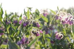 organic comfrey in sunlight