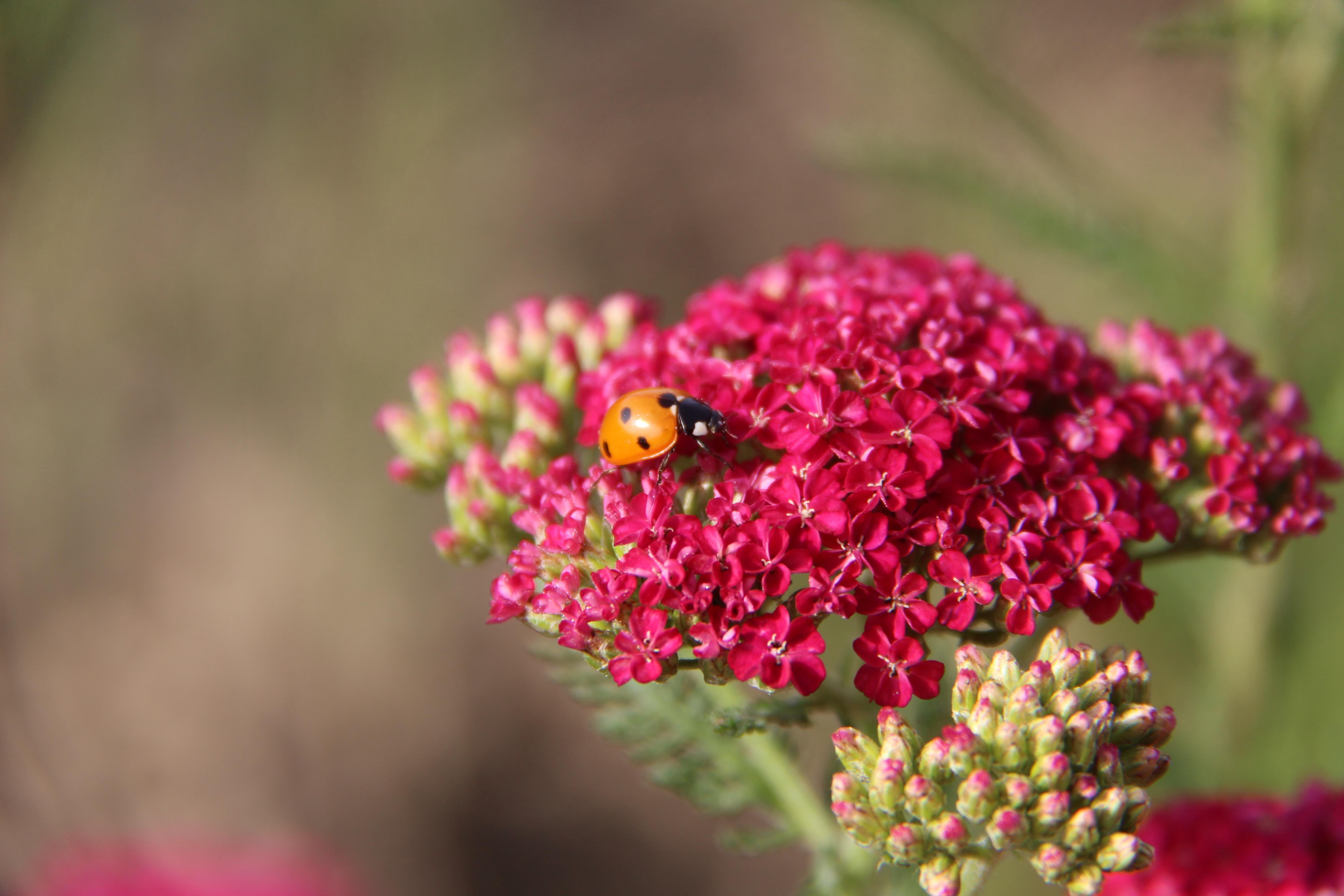 ladybug on pink organic yarrow