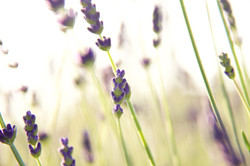 field of organic lavender close up
