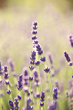 close up of organic lavender